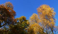 Oak & birch, Callander Crags (Niall Corbet) Tags: scotland perthshire callandercrags callander autumn woodland forest birch betula oak