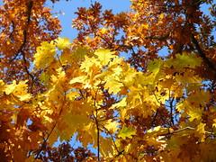 Autumn trees (EvelienNL) Tags: autumn fall herfst tree trees leafs leaves colourful coloured bright sunny sunshine sunlight boom bomen bladeren herfstbladeren herfstkleuren herfstblad zonlicht zonnig bluesky orange yellow oranje geel gele oak redoak championoak northernoak quercusrubra amerikaanseeik eik sooc