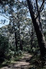 Bush walk (Stefan Fisher) Tags: kodakektachrome minoltaxd7 australia oz downunder scanned bush forest walk nature outdoor
