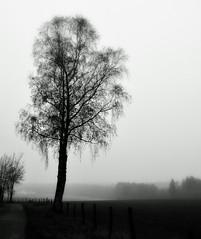 _remember the last day of November (SpitMcGee) Tags: hff happyfencefriday birke birch blackwhite venwegen eifel spaziergang walk neblig foggy spitmcgee
