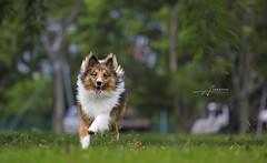 Bao Bao (Albert Photo) Tags: baobao dog run shetlandsheepdog