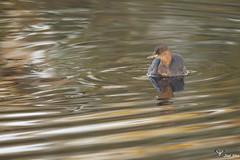Mergulho-pequeno  -  Little grebe (Tachybaptus ruficollis) (joelcsilva) Tags: joelsilva fotografia natureza vidaselvagem aves arlivre passaros trofa rioave agua nature birds wildlife photography portugal penas river water mergulhopequeno littlegrebe tachybaptusruficollis canon40d sigma150500mm birdphotography birdwatching