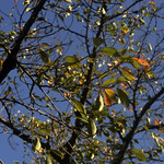 Autumn Leaves 2 thumbnail