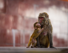 Family (Ash and Debris) Tags: mother monkey family feelings india feeling monkeys animals apes shimla ape parent animal