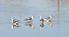 Winter Coats -- American Avocets (Recurvirostra americana) and Friends; Wilcox, AZ, Twin Lakes [Lou Feltz] (deserttoad) Tags: lake desert bird wildbird shorebird phalorope reflection arizona