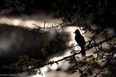 bird silhouette cr (Somnia Andram) Tags: tree bird silhouette lake water dam bulbul sunset