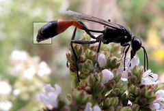 Streptisera - 26 VI 2016 (el.gritche) Tags: streptisera paraxenos sphecidarum paraxenossphecidarum hymenoptera france 40 garden sphecidae ammophila ammophilasabulosa male wasp guepe