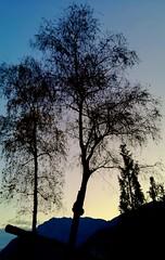 Riposo (alexandrosmccarthy) Tags: albero alberispogli alberi alberiininverno pace crepuscolo trees controluce luci light riposo trentino it chiarore dopoiltramonto tranquillità colors colori betulle leggerezza
