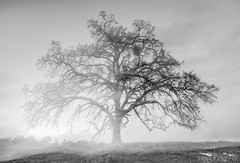 Ghost Oak - Sacramento County, California (Tactile Photo | Greg Mitchell Photography) Tags: hike calm ranchomurieta rollinghills moon oaka star clouds clear happyplace peace tree cow cattleranch sacramento sunset greengrass oaktree private walk