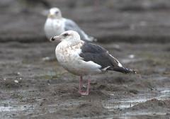 3rd winter Slaty-backed Gull Delta BC (miketabak) Tags:
