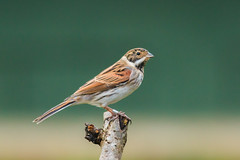 bunting (mal265) Tags: birds wildlife rspb old moor ngc