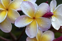happy easter/passover/day/evening!!!!! (_aires_) Tags: macro canon droplets drops plumeria bokeh aires 100mm gotas frangipani suche limaperu 50d ires canonef100mmf28macrousm canoneos50d canon50d