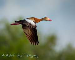 Black Bellied Whistling Duck in Flight (Michael Pancier Photography) Tags: usa birds duck florida birding ducks birdsinflight fl wako delraybeach palmbeachcounty wakodahatcheewetlands commercialphotography blackbelliedwhistlingduck naturephotographer floridabirds greatfloridabirdingtrail landscapephotographer fineartphotographer michaelapancier wwwmichaelpancierphotographycom southfloridawetlandareas