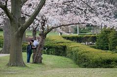 High Park (Thankful!) Tags: toronto cherry spring highpark blossoms sakura
