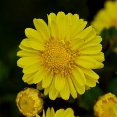 Yellow floral (Deb Jones1) Tags: nature beauty yellow canon outdoors flora macroflower flickrawards debjones1