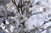 IMGP6856 (Aḥmad) Tags: flower japan spring 桜 日本 sakura kiryu زهرة 春 さくら ساكورا ربيع 桐生 يابان
