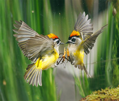 #772  (John&Fish) Tags: bird nature birds wow photography taiwan best 2012 deepavali greatphotographers innamoramento thefineartgallery