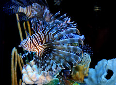 Lionfish (froggieb) Tags: fish lionfish siouxfallssd sertomabutterflyhouse marinefish