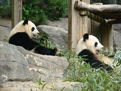 The Boo Train (LCNessie) Tags: atlanta giant zoo panda lan yang po lun xi