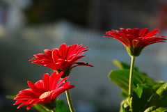 Fenced Gerberas..... (ineedathis) Tags: red flower green yellow fence spring bokeh graden gerberadaisy gerberajamesonii nikond80