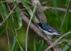 4-29-12 Black Throated Blue Warbler-Reference Photo Mead Gardens (janeswalden) Tags: blue black bird gardens mead warbler throated