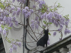Is it edible? (seikinsou) Tags: brussels black cat spring belgium belgique balcony bruxelles wisteria