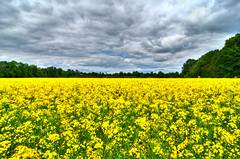 Yellow (Sprengben) Tags: summer sky music yellow clouds forest germany deutschland woods nikon europe angle coldplay gorgeous awesome wide style hannover rape gelb charming fabulous raps hdr oilseed rapsfeld engaging d90 d3s sprengben