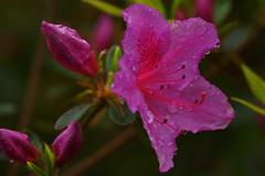 pink azalea (la-ong) Tags: pink flowers plants plant flower macro green nature water leaf flora pretty sony pettle maro a65 laong sonya65