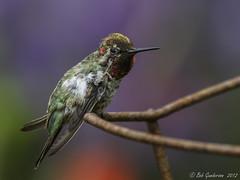 Anna's Hummingbird (Bob Gunderson) Tags: sanfrancisco california birds northerncalifornia fortmason hummingbirds annashummingbird calypteanna coth