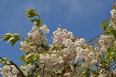 Apple Blossom (Gina Lessiter) Tags: uk flowers cornwall newquay bluesky boatinglake appleblossom pinkpetals