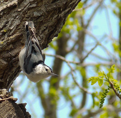 White-breasted Nuthatch (mahar15) Tags: nature birds wildlife nuthatch whitebreastednuthatch backyardbirds
