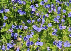 Speedwell (:Linda:) Tags: germany village thuringia veronica speedwell bluewildflower ehrenpreis bürden gewitterblümchen gamander