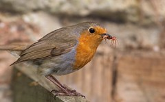 robin 2 (Gordon Bishop) Tags: bird robin birds insect spider feeding eating feed
