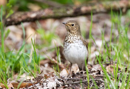 Northern Waterthrush_Q4G6972
