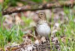 Northern Waterthrush_Q4G6972 (BKP2010) Tags: bird nature birds wisconsin creek photography spring branch pheasant northern thrush middleton waterthrush