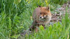 Urban fox (Brian Negus) Tags: england unitedkingdom fox loughborough vixen charnwood urbanfox
