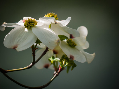 Flowering Dogwood Closeup