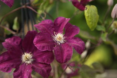 Clematis (Keith Coldron) Tags: flowers garden clematis