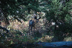56 - Mule deer (Scott Shetrone) Tags: animals forest scenery events places mammals 7th grandtetonsnationalpark anniversaries wymoing deermule