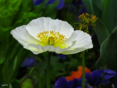 Giverny Garden (gabi-h) Tags: flowers white france monet poppies claude giverny gabih