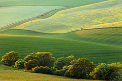 Broccoli (S l a w e k) Tags: park uk trees sunset england abstract green lines yellow landscape sussex evening spring westsussex rape hills national bloom fields folds rolling southdowns rapeseed oilseed storrington findon