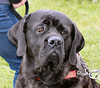 Hooch (Petleg9) Tags: dog proud big strong frown jowls neopolitanmastiff hadleighshow