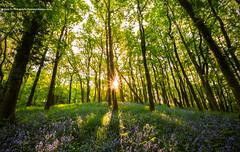 woodland bluebells (awhyu) Tags: lake bluebells woodland rydal district grasmere cumbria