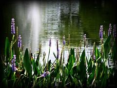 Praise (Chris C. Crowley) Tags: flowers fountain pond praise purpleflowers magnoliapark chriscrowley flickrdiamond onlythebestoriginal