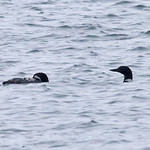 008004-IMG_5645 Great Northern Divers (Gavia immer) thumbnail