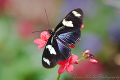 Heliconius Sara Theudela [Explored] (Arizphotodude) Tags: arizona nature butterfly flying wings nikon desert flight explore nikkor ariz explored d7k d7000 brucewolke gilbertmeetup