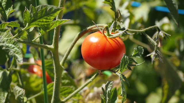 Tomatoes_at_Geek_Hill_2013-1502