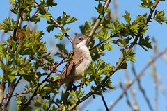 Common whitethroat, Upton Warren (Muntjac 1) Tags: bird birds uptonwarren