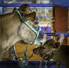 A Mother's Love (ronWLS) Tags: animals cow calf bovine farmanimals shastadistrictfair2013