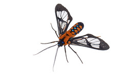 Clearwing moth (ggallice) Tags: cloud peru america forest paradise cusco south moth lodge lepidoptera bosque nublado manu mariposa polilla clearwing sesiidae manuroad